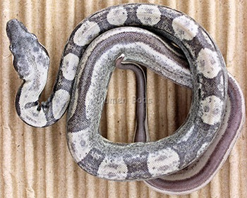 Male Ghost Jungle Motley Boa Constrictor