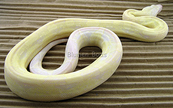 Female Sharp Snow Boa Constrictor