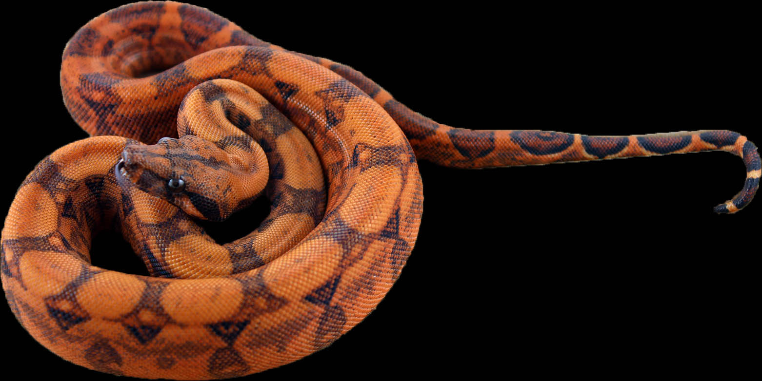 Blood Boa Constrictor