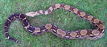 Colombia - Double Het Sharp Snow and mother of the first Sharp Snow Boa Constrictor!