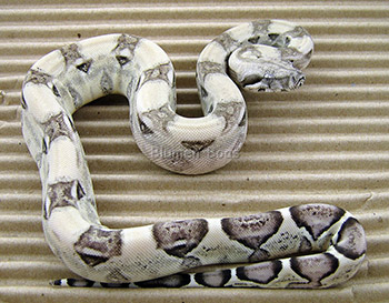 Frick - Pastel Anery Boa Constrictor