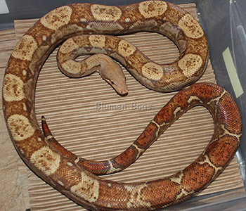 George - T+ Nicaraguan Boa Constrictor