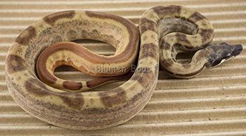 Female Hypo Jungle Motley 66% het Anery