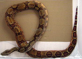 Lucille - DH Leopard (Het Leopard and Salmon Hypo), Boa Constrictor