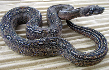 Sony - Leopard Boa Constrictor