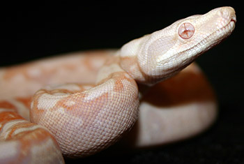 Female Sharp Albino 66% Possible Het Anery (Het Sharp Snow) Boa Constrictor
