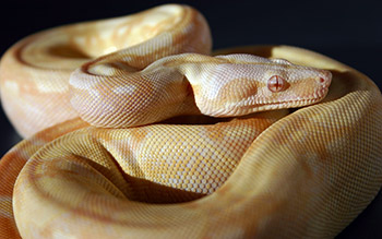 Female Sharp Albino 66% Possible Het Anery (Het Sharp Snow)
