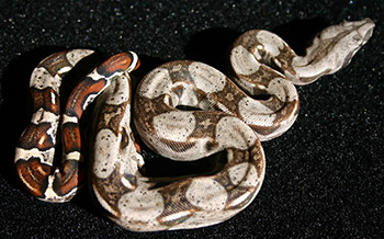 Female Normal 66% Possible DH Sharp Snow (Het Sharp Albino Het Anery)