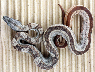 Male Hypo Jungle Motley 66% het Anery Boa Constrictor