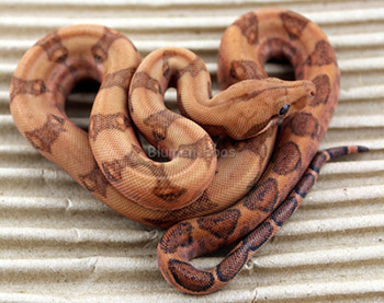 Male Blood 50% Hog Island Boa Constrictor
