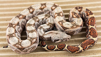 Male Het Blood 50% Hog Island Boa Constrictor