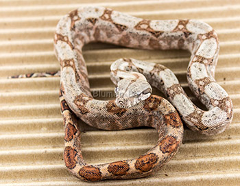Female het Blood 50% Hog Island Boa Constrictor