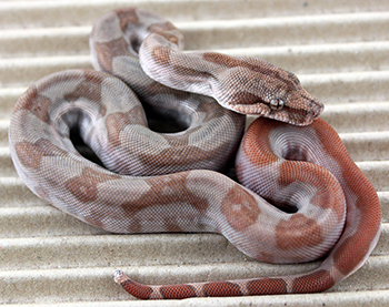 Male CA T+ Sunglow het Anery